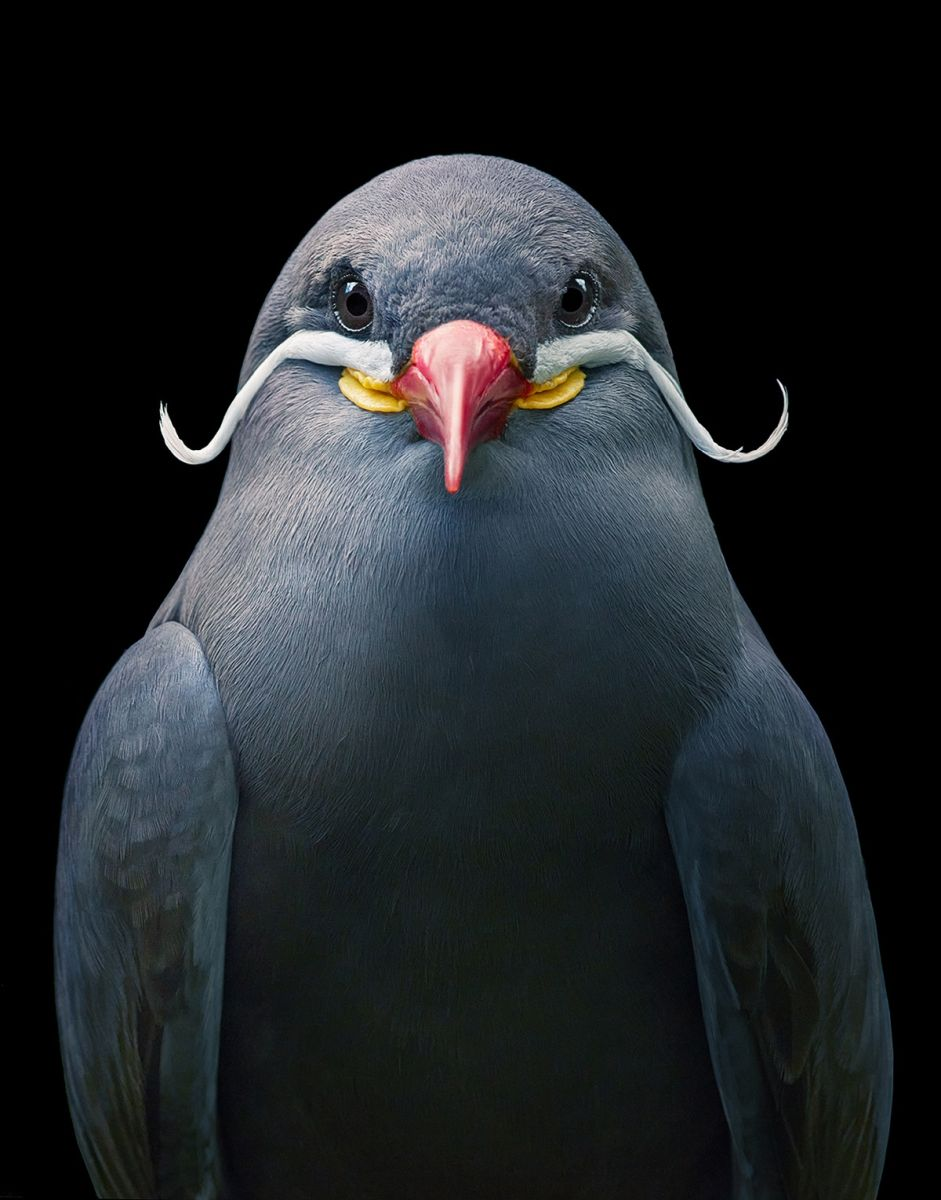 portrait bird photography inca tern tim flach